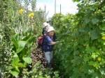 H270904いやし収穫体験 (4)