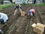 H270915ジャガイモの種植え付け (11)