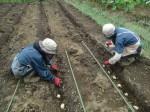 H270915ジャガイモの種植え付け (16)