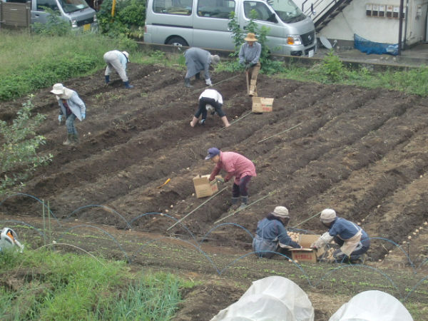 H270915ジャガイモの種植え付け (17)