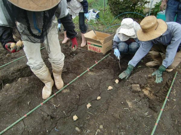 H270915ジャガイモの種植え付け (4)