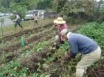 H211021農園作業サツマイモツルカリ (11)