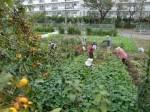 H211021農園作業サツマイモツルカリ (14)