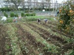 H211021農園作業サツマイモツルカリ (16)
