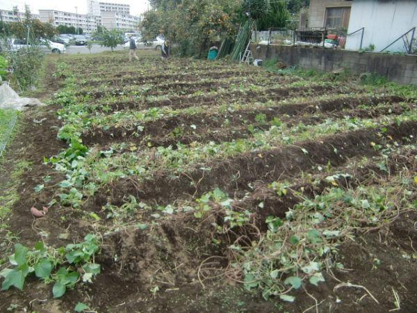 H211021農園作業サツマイモツルカリ (22)
