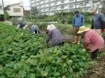 H211021農園作業サツマイモツルカリ (4)