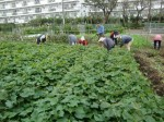 H211021農園作業サツマイモツルカリ (5)