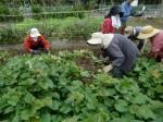 H211021農園作業サツマイモツルカリ (6)