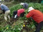 H211021農園作業サツマイモツルカリ (10)