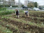 H211021農園作業サツマイモツルカリ (17)