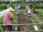 H211021農園作業サツマイモツルカリ (18)