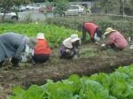 H211021農園作業サツマイモツルカリ (23)