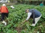 H211021農園作業サツマイモツルカリ (9)