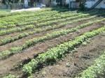 H261007農園作業 (5)