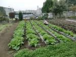 H261007農園作業 (10)