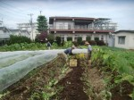 H271020サトイモ収穫 (10)