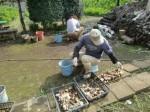 H271020サトイモ収穫 (9)