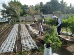 H271020サトイモ収穫 (1)