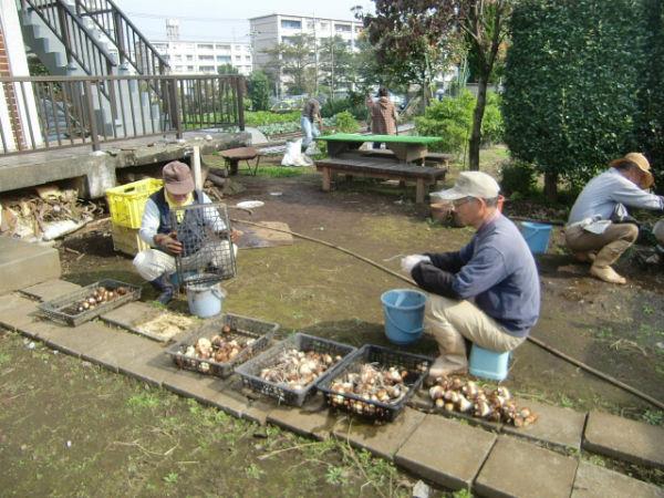H271020サトイモ収穫 (6)