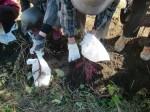 H271025サツマイモ掘り及び炊き出し訓練 (22)