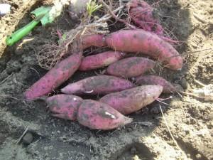 H271025サツマイモ掘り及び炊き出し訓練 (3)