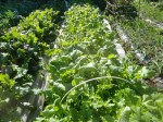 H271103農園作業 (6)