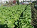 H271106農園作業 (10)