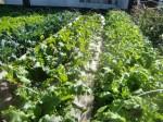 H271106農園作業 (4)