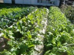 H271106農園作業 (5)