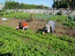 H271106農園作業 (8)