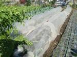 H271106農園作業 (9)