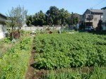 H271106農園作業 (2)