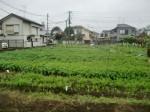 H271108農園作業ダイコン収穫 (12)