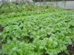 H271108農園作業ダイコン収穫 (13)
