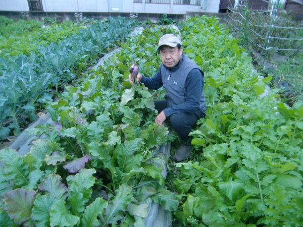 H271108農園作業ダイコン収穫 (16)
