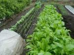H271108農園作業ダイコン収穫 (7)