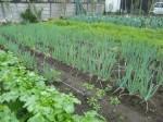 H271108農園作業ダイコン収穫 (9)