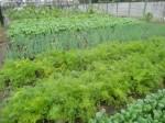 H271108農園作業ダイコン収穫 (11)