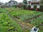 H271108農園作業ダイコン収穫 (14)