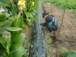 H271108農園作業ダイコン収穫 (2)