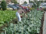 H271111農園作業 (11)