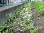 H271111農園作業 (12)