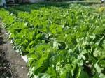 H271115農園野菜・おもてなしのお花 (7)