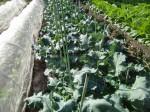 H271115農園野菜・おもてなしのお花 (8)