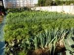H271128農園作業(大根) (12)