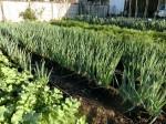 H271128農園作業(大根) (14)