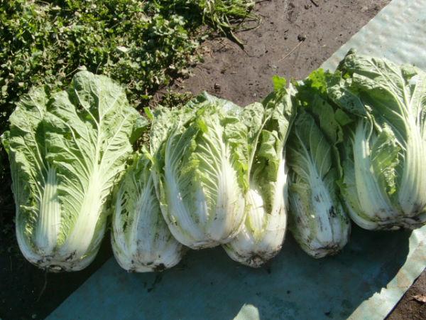 H271201農園収穫(白菜) (1)
