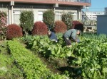 H271201農園収穫(白菜) (10)