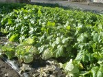 H271201農園収穫(白菜) (18)