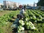 H271201農園収穫(白菜) (2)